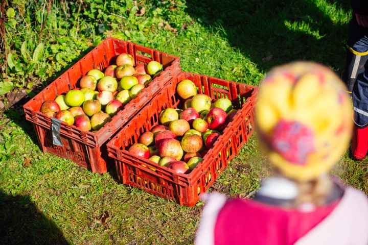 : Pupils from Coastlands CP took part in apple-picking at St Brides as part of the Gwreiddiau/Roots project.